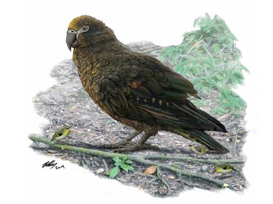 Найдены останки крупнейшего попугая в истории