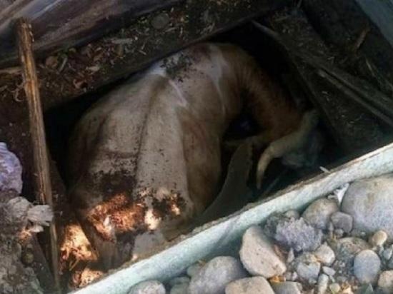 На Алтае корова провалилась в глубокий колодец