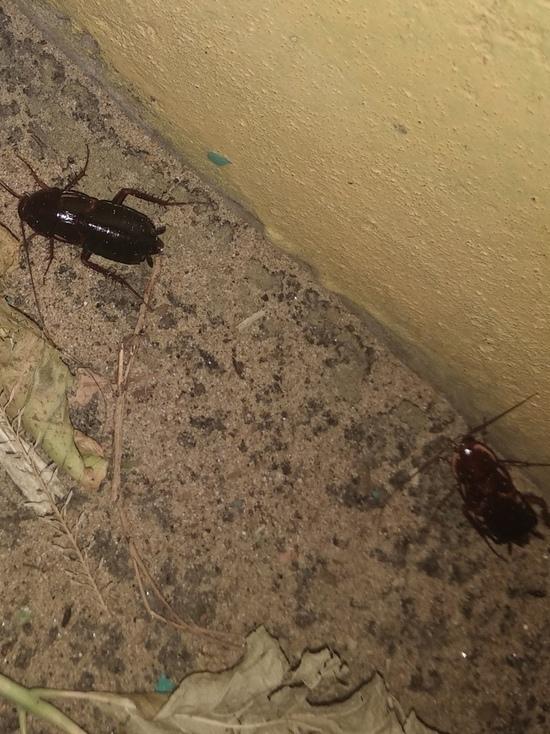 В Улан-Удэ появились тараканы размером с мизинец