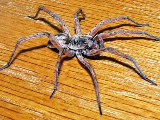Новый вид пауков-волков открыли на Алтае