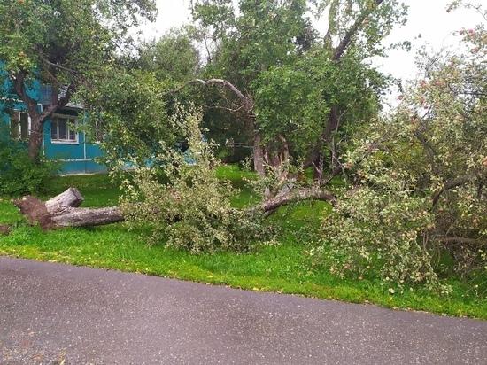 В Заокском штормовой ветер вырвал яблоню из земли