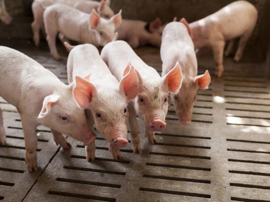 Африканскую чуму свиней пытаются не допустить в Хабаровский край