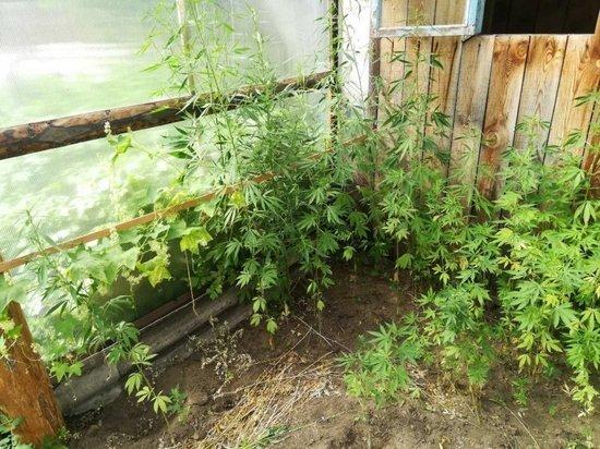 Выращивают ли коноплю в теплице фото букет конопля
