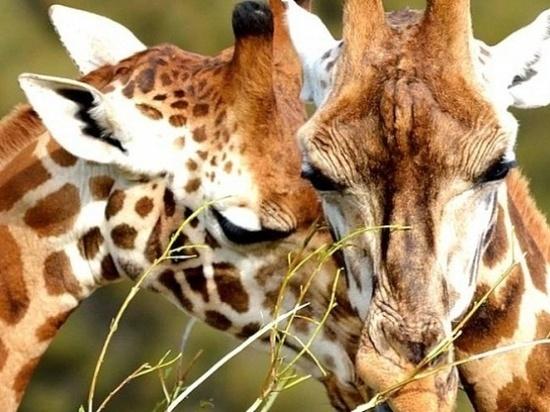 Новосибирские биологи упорядочили генома исчезающего жирафа