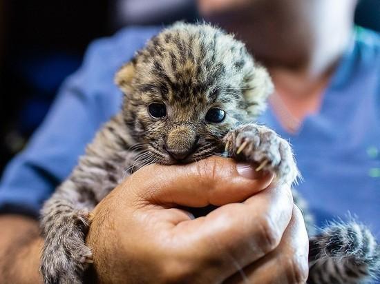 В Челябинске спасенного детеныша леопарда выкупил неизвестный меценат