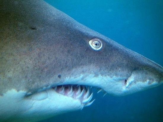 Нашествие акул отмечено в Хабаровском крае