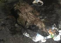 Собаку, угодившую в яму с гудроном, удается отмыть. Пёс идет на поправку