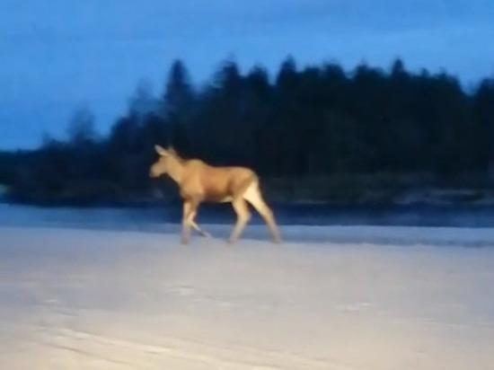 Лосиха отправилась на прогулку в Новый Уренгой