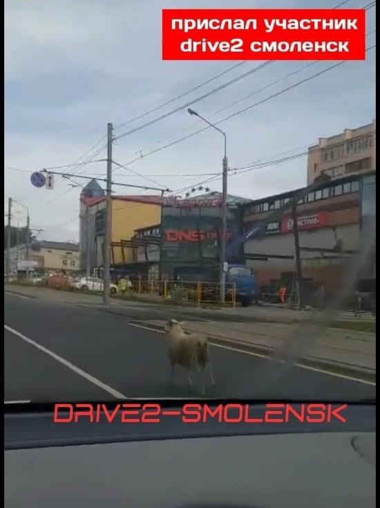 По центру Смоленска бегает баран