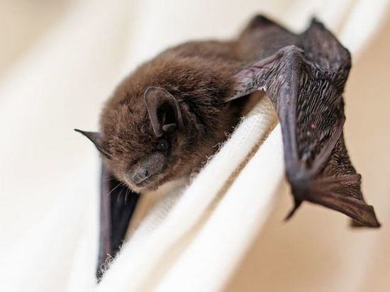 За день уфимские спасатели трижды отлавливали летучих мышей в квартирах