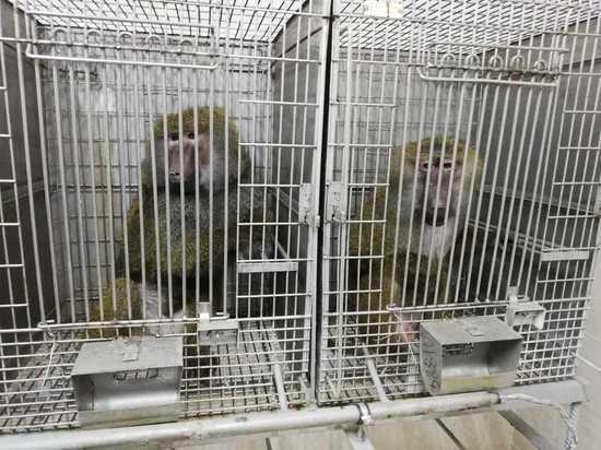 В России готовится уникальный эксперимент: родятся обезьяны с человеческими органами