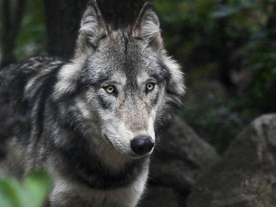 Волки загрызли телят на ферме в Удмуртии