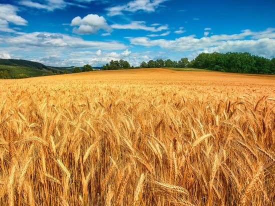 В полях Хакасии вырос небывалый урожай, но уборке мешают дожди