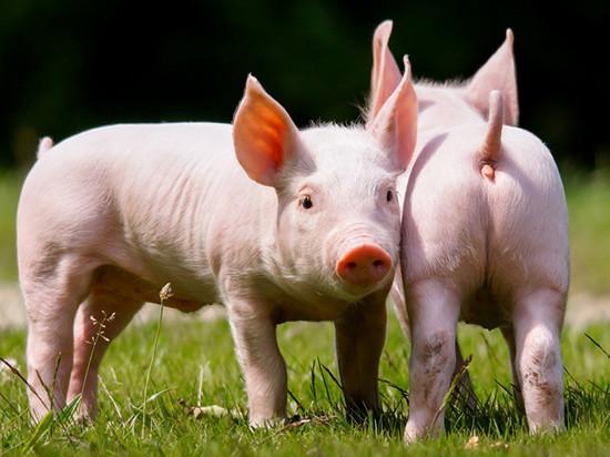 Режим ЧС введен в Хабаровском крае из-за угрозы африканской чумы свиней