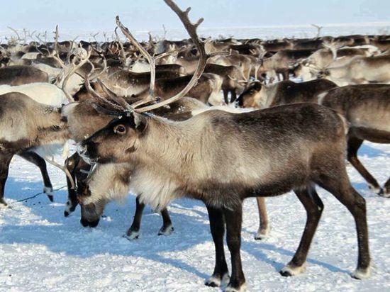 Гладить можно: биолог из ЯНАО развеял миф о северных оленях