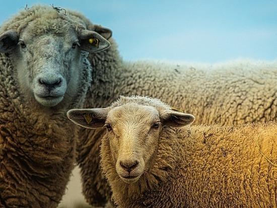 Для новой фермы в Карелии планируется закупить овец из Финляндии