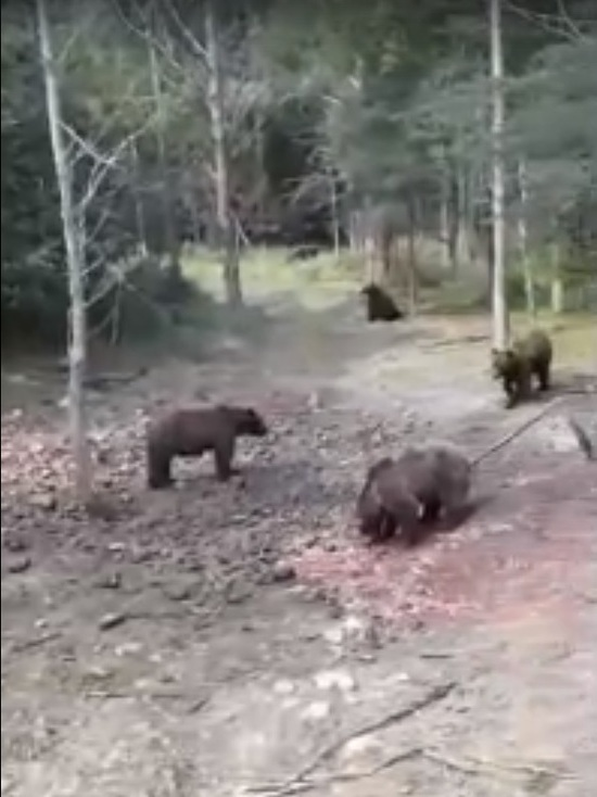 Массовая «сходка» медведей под Тарко-Сале попала на видео