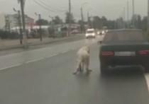 В Москве живодер привязал собаку к машине: спасла певица