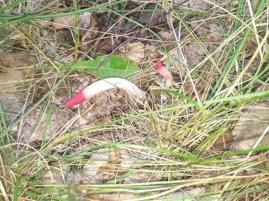Непристойный, редкий, вонючий: тулячка нашла гриб из Красной книги