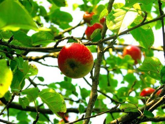 Яблочный спас 2019: значение, приметы и запреты