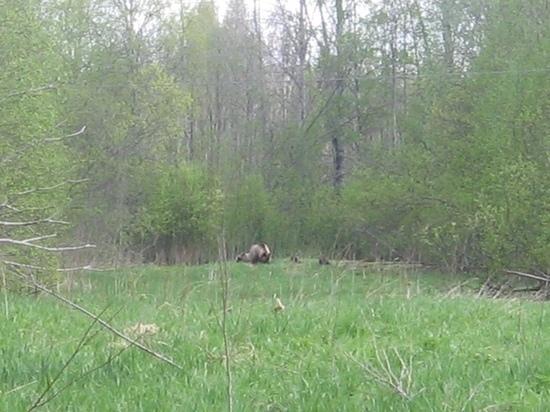 Жительница Лахденпохья рассказала о встрече в лесу с медведицей и медвежатами