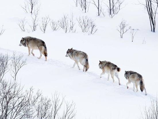 За голову Монгола каратели назначили 150 тысяч рейхсмарок (1 млн $), но «стиль волка» не имеет цены