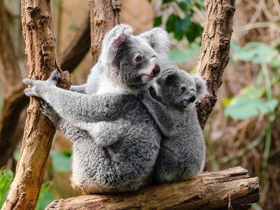 Вымирающих коал предложено спасти с помощью фекалий