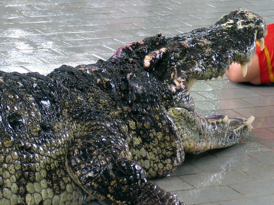 Крокодил Фиделя Кастро искусал шведского дедушку