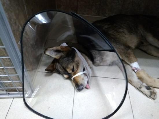 Рязанского пса, которого хозяин забил вилами, обследуют в Москве