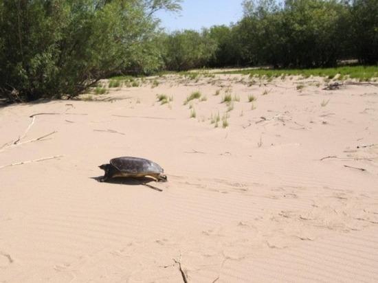 Амурский паводок нанес ущерб  кожистой черепахи