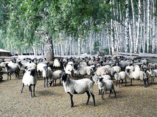 Кузбасские овцы помогут Китаю