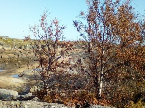 Мертвая зона: в Кемском районе после взрыва в Северодвинске пожелтели деревья