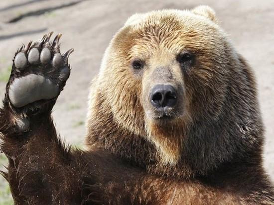 Медведи массово выходят к людям в Хабаровском крае