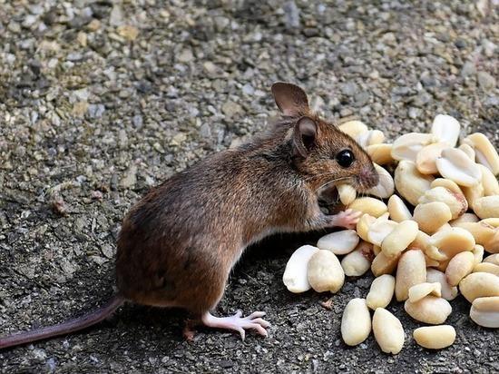 Высокий риск заражения мышиной лихорадкой обнаружен в тульском регионе