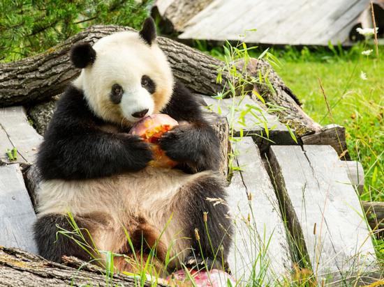 Берлинская панда Менг Менг в «интересном положении»
