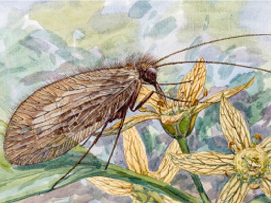 Древний вид насекомых назвали в честь Буратино