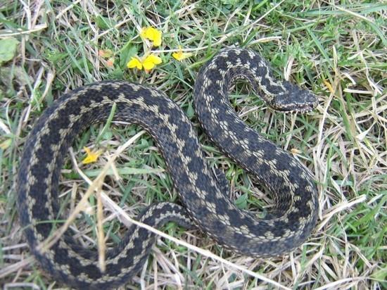 Алматинцы опасаются нашествия змей