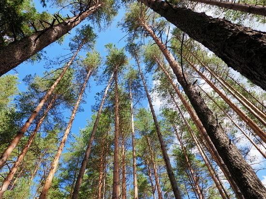 Поврежденные сосны в воронежском Северном лесу смогли восстановиться