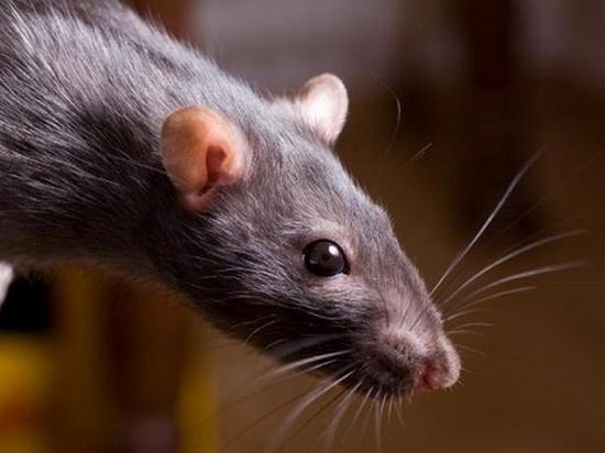 В Хабаровске ведется обработка от выгнанных паводком крыс