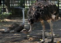 В зоопарке рассказали о потенциальной поклоннице новеньких страусов