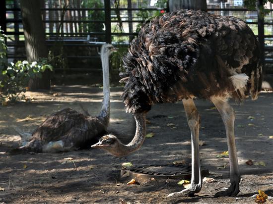 Трое птиц должны заменить жирафихе Липе умершую подругу