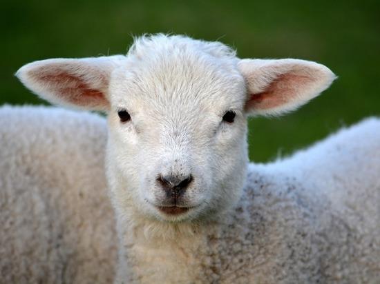 На Алтае мужчина украл овец на 1 миллион рублей
