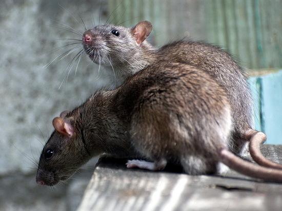 Воронежцев обеспокоили стаи крыс возле городского вокзала