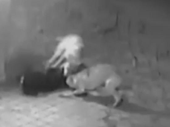 Волки утащили ротвейлера с дачного участка под Северодвинском