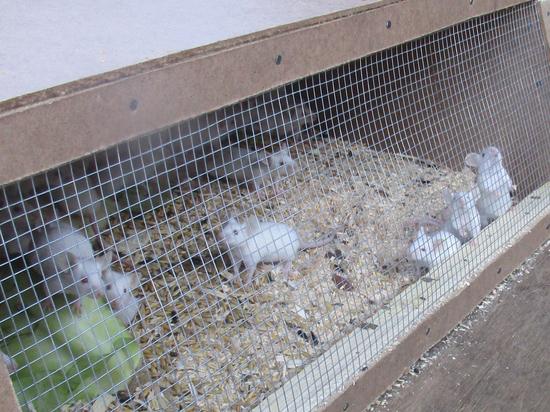 В Петербург завезли 86 лабораторных мышей