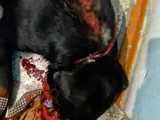 Раненого на Алтае ротвейлера сейчас спасают ветеринары из Кемерово