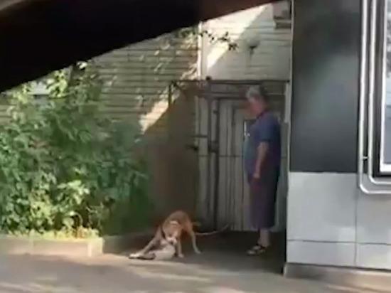 Житель Курска объяснил, зачем его питбуль растерзал кота