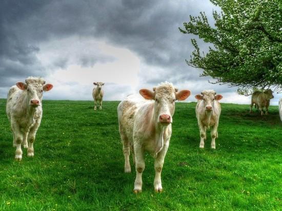 Жительницу Новосибирской области убили коровы