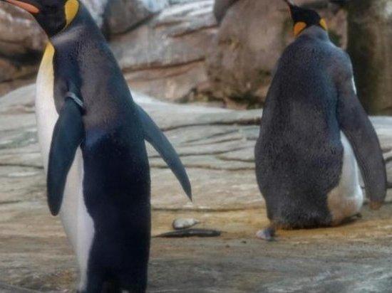 Берлин: Пингвинам нетрадиционной ориентации не суждено стать родителями