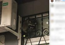 В Москве для поимки енота пришлось привлекать полицию